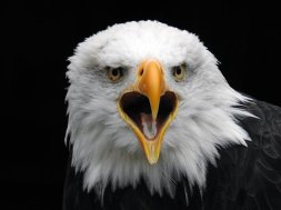 bald-eagles-2156952__340